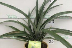 Ananas comosus – Ananas – Pineapple