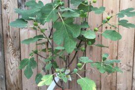 Ficus Carica (Vijg) 'Brown Turkey'