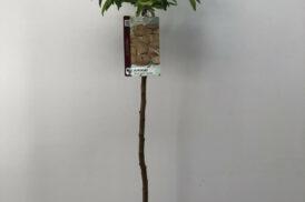 Prunus dulcis/Amygdalus – Amandel – Guara