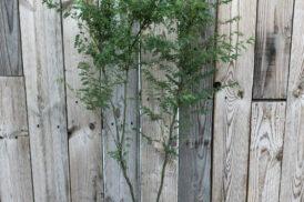 Caesalpinia Gilliesii (Paradijsvogelstruik)