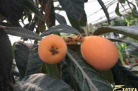 Eriobotrya Japonica (Loquat –  Japanse Wolmispel)