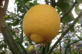 Citrus Limon (Citroen)