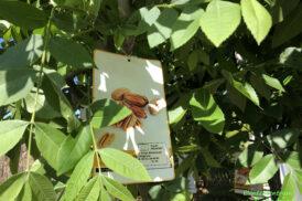 Carya Illinoinensis (Pecannoot)