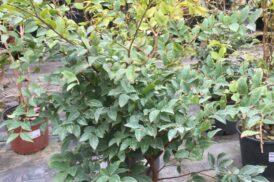 Plinia Cauliflora (Jaboticaba)