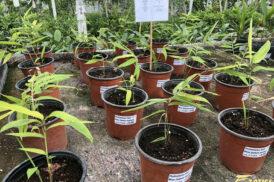 Phyllostachys Edulis (Moso bamboo – Eetbare bamboe)