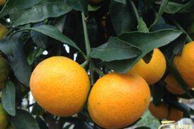 Citrus Reticulata (Mandarijn)