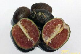 Microcitrus Australasica (Finger lime,Lime Caviar, limoen kaviaar)