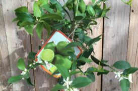 Citrus Aurantifolia (Limoen, Key Lime)