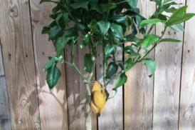 Citrus Bergamia (Bergamot)