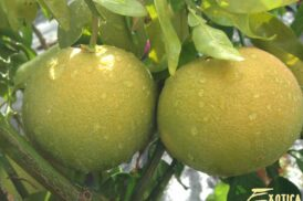 Citrus Paradisi Pompelmoes