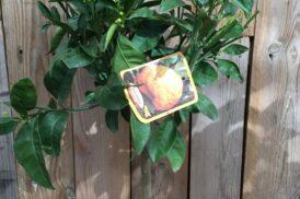 Citrus Reticulata 'Satsuma'