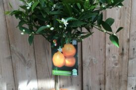 Citrus xClementina (Clementine)