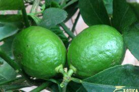 Citrus Latifolia (Limoen)