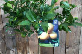 Citrus xFloridana (Limequat)