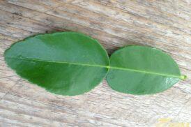 Citrus Hystrix (Kaffirlimoen – Djeroek poeroet – Mauritius papeda)