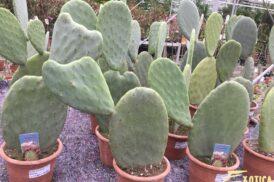 Opuntia Ficus-Indica (Cactusvijg, Nopales)