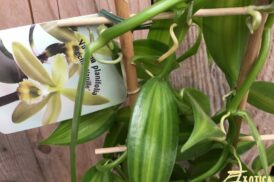 Vanilla planifolia (Vanille orchidee)