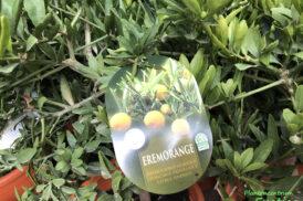 Eremorange (Citrus sinensis x glauca)