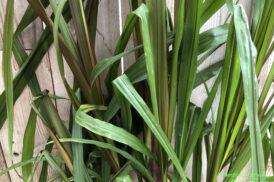 Saccharum officinarum violaceum (Suikerriet)