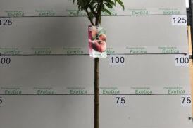 Prunus persica paraguayo