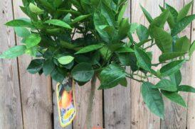 Citrus Sinensis Arancio (zoete sinaasappel)