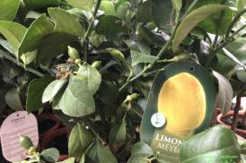 Citrus x Meyeri (Meyers citroen)