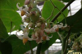 Cyphomandra Betacea (Boomtomaat – Tamarillo)(Rood)
