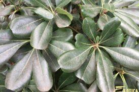 Pittosporum Tobira (Australische laurier)