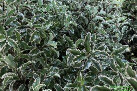 Pittosporum Tobira Silver Queen (Australische laurier)