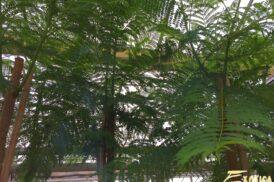 Jacaranda Mimosifolia (pickup)