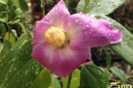 Lagunaria Patersonii/Norfolk Hibiscus