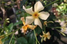 Trachelospermum Jasminoides Star of Toscane (Geel)