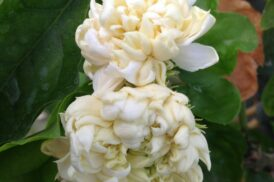 Jasminum Sambac Grand Duke of Toscany