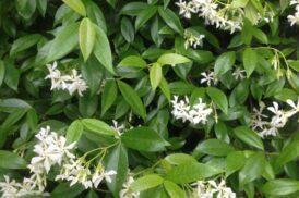 Trachelospermum jasminoides (Wit) (Toscaanse Jasmijn, Sterjasmijn)