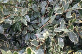 Ligustrum japonicum 'Texanum' variegata
