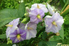 Solanum Wendlandii -Costa Ricaanse nachtschade