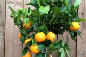 Citrus Mitis Calamondin