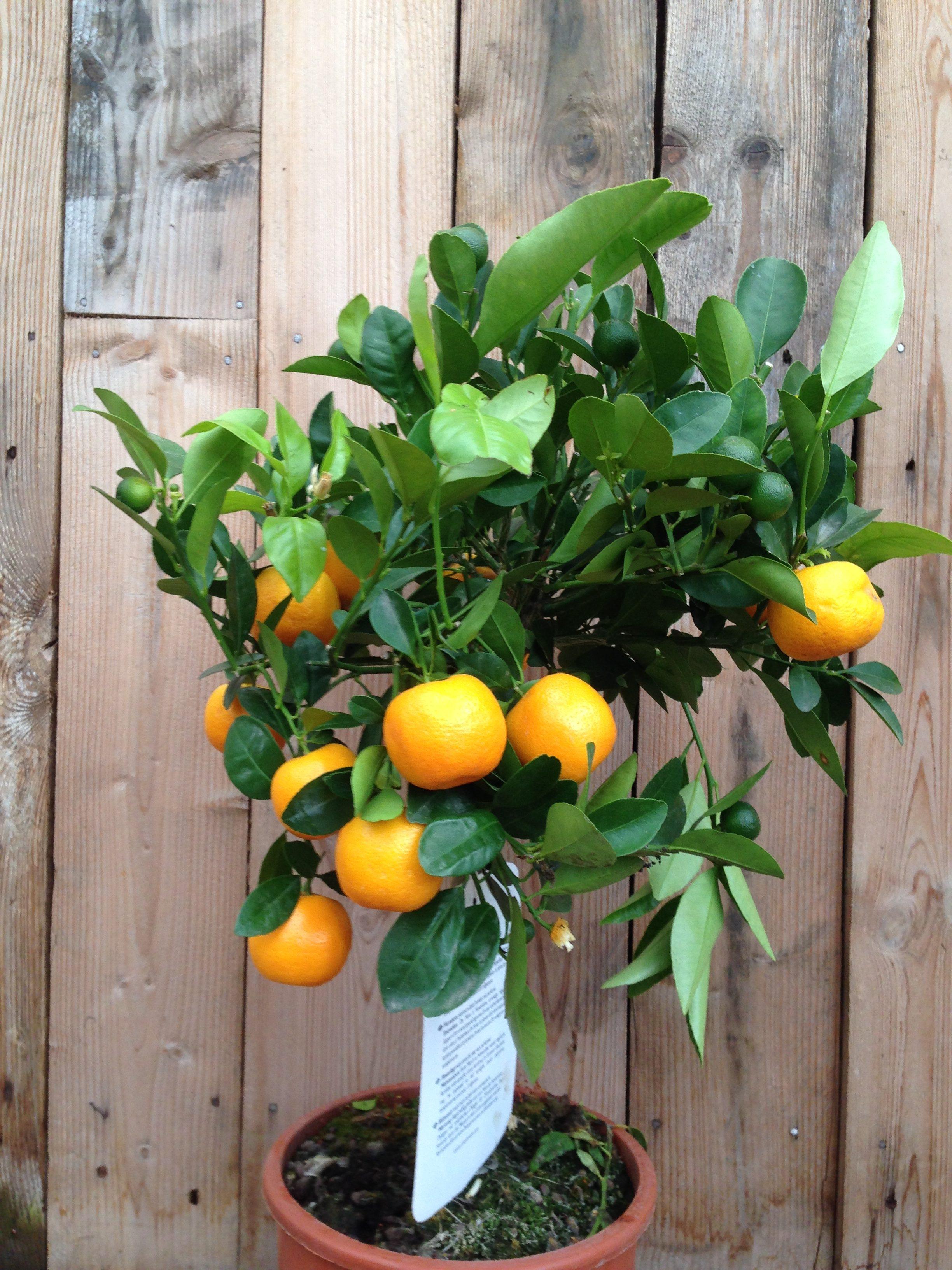 citrus mitis calamondin plantencentrum exotica. Black Bedroom Furniture Sets. Home Design Ideas