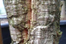 Quercus Suber (Kurkeik)