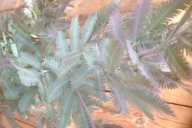 Acacia baileyana Purpurea
