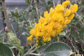 Argyrocytisus battandieri 'Yellow Tail' (Afrikaanse Brem)