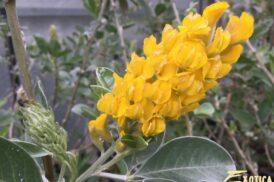 Argyrocytisus battandieri 'Yellow Tail' (Afrikaanse Brem)