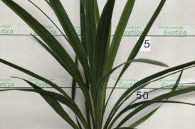 Cordyline Australis (groen)