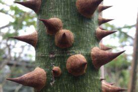 Ceibia Speciosa (Chorisia Speciosa) (Silk floss tree)