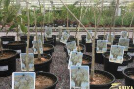 Adansonia Digitata (Baobab)