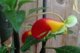 Impatiens Niamniamensis variegata (Congobalsemien)