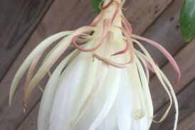 Epiphyllum oxypetalum 'Queen of the Night'
