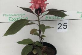 Jacobinia Carnea – justicia Carnea Velutina – Brazilian plume