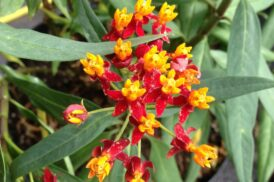 Asclepia curassavica (zijdeplant,frederiksbloem)