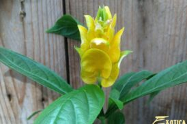 Pachystachys Lutea (Lollipop plant)